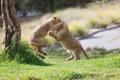 Картинка игра, хищники, борьба, драка, пара, малыши, дикие кошки