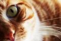 Картинка усы, взгляд, глаз, Кошка, шерсть, рыжая