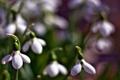 Картинка весна, Подснежники, первоцвет, размытость, макро, цветы