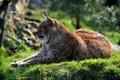 Картинка профиль, отдых, трава, рысь, кошка