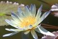 Картинка цветок, лилия, лепестки, кувшинка, водяная