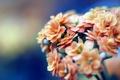 Картинка макро, цветы, оранжевый, синий, лепестки, бежевый, соцветия