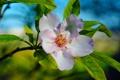 Картинка цветок, листья, природа, лепестки, ветвь, цветение