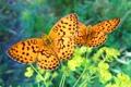 Картинка зелень, лето, трава, макро, бабочки