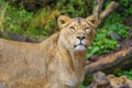 Картинка интерес, хищник, морда, лев, львица