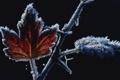 Картинка листья, черный фон, ветка, иней