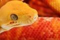 Картинка желтый, обои, змея