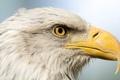 Картинка птица, портрет, хищник, голова, клюв, профиль