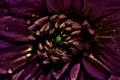 Картинка макро, роса, Цветок, лепестки, бордовый