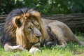 Картинка кошка, трава, отдых, лев, ©Tambako The Jaguar