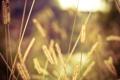 Картинка колоски, поле, свет, макро, солнце