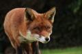 Картинка fox, animal, cute