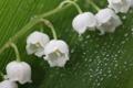 Картинка капли, макро, цветы, лист, роса, бутоны, ландыши