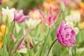 Картинка цветы, краски, яркие, весна, Тюльпаны, tulip