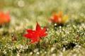 Картинка трава, красный, лист, роса, блики, кленовый