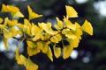 Картинка листья, капли, жёлтый, ветка, гинкго