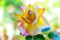 Картинка лето, фон, роза, лепестки, красивая