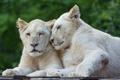 Картинка кошки, пара, львята, белый лев, ©Tambako The Jaguar