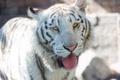 Картинка язык, белый тигр, морда, кошка