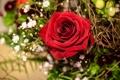 Картинка роза, бутон, гипсофила