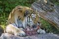 Картинка язык, мясо, камень, амурский, тигр, ©Tambako The Jaguar, ест