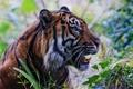 Картинка морда, тигр, хищник, пасть, клыки, профиль, дикая кошка
