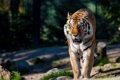 Картинка хищник, дикая кошка, амурский тигр