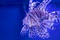 Картинка Рыба-лев, рыба-зебра, Broadbarred firefish, полосатая крылатка, Lionfish