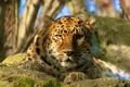 Картинка взгляд, морда, отдых, хищник, леопард, amur leopard