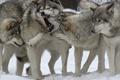 Картинка животные, снег, природа, игры, пасть, волки, рычание
