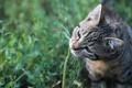 Картинка кот, травинка, кошка