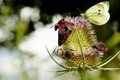 Картинка макро, бабочки, насекомые, жуки, колючка