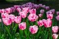 Картинка цветы, тюльпаны, розовые, клумба