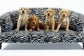 Картинка четверо, Собаки, диван