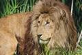 Картинка кошка, трава, солнце, лев, грива, ©Tambako The Jaguar