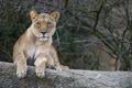 Картинка кошка, взгляд, львица, ©Tambako The Jaguar