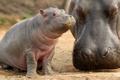 Картинка малыш, бегемот, детеныш, мать, гиппопотам, hippopotamus