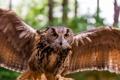 Картинка сова, птица, крылья