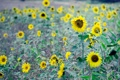 Картинка поле, листья, подсолнухи, цветы, фон, widescreen, обои
