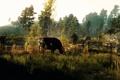 Картинка деревья, корова, Ведьмак, The Witcher 3