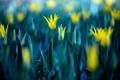 Картинка цветы, желтые, тюльпаны, много