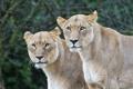 Картинка кошки, пара, львицы, ©Tambako The Jaguar