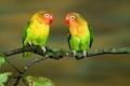 Картинка листья, неразлучники, крупным планом, разноцветные, птицы, ветка, попугаи