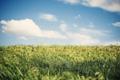Картинка пшеница, поле, лето, небо, трава, природа, поля