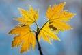 Картинка осень, листья, макро, жёлтый, ветка, насекомое