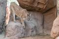 Картинка камни, скалы, хищник, пума, дикая кошка, горный лев, кугуар