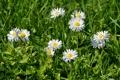 Картинка зелень, трава, маргаритки