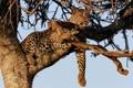 Картинка отдых, кошка, леопард, дерево