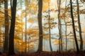 Картинка осень, лес, деревья, туман