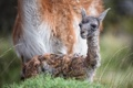 Картинка гуанако, малыш, новорожденный